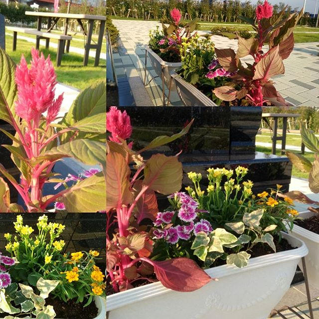 吉川霊園のお花も秋バージョン